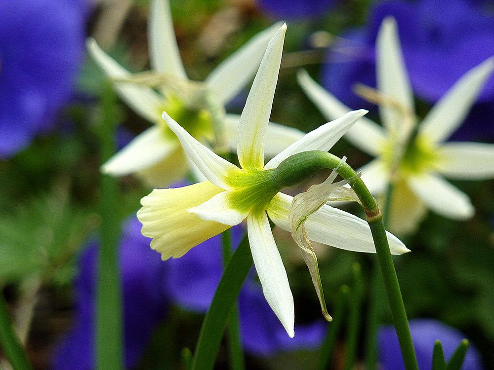 quiet daffodil