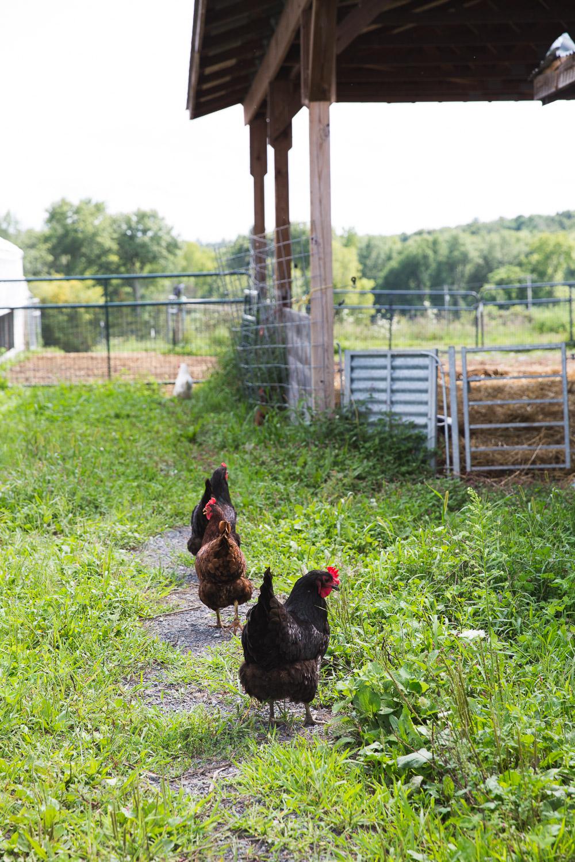 Roxbury-Farm-chickens.jpg