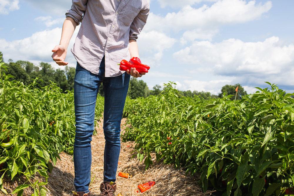Roxbury-Farm-peppers.jpg