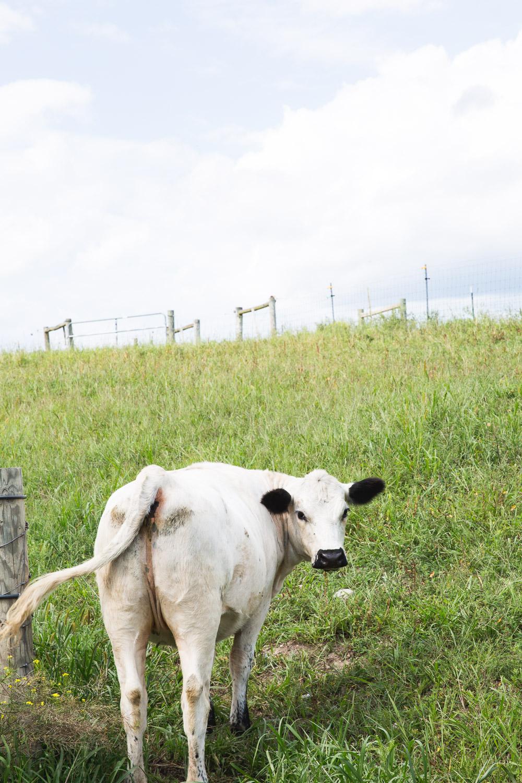 Roxbury-Farm-cow-2.jpg