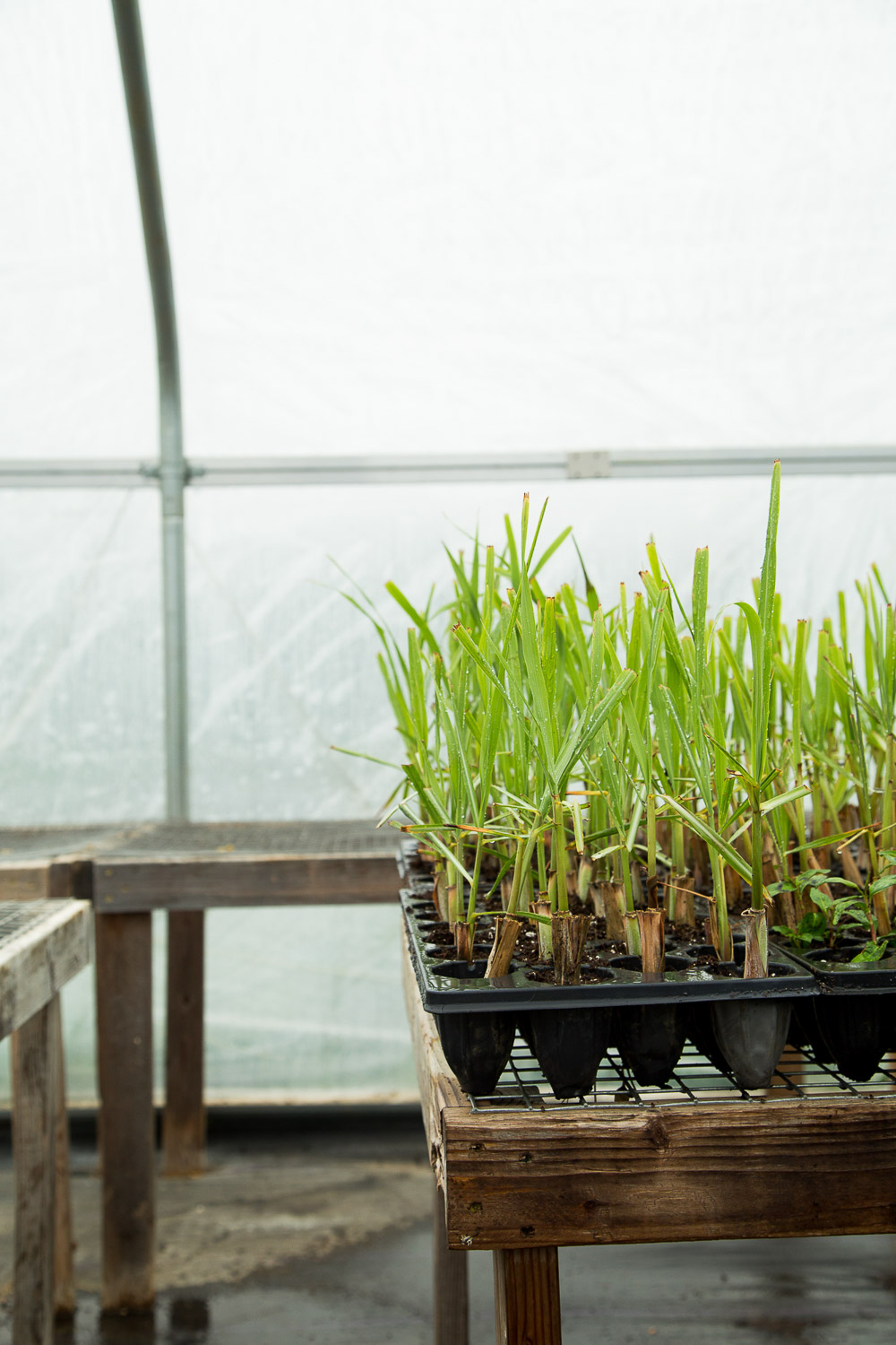 lemongrass in a greenhouse