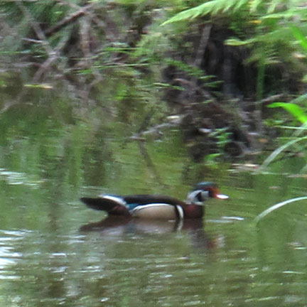wood-ducks-in-cooper-creek.jpg