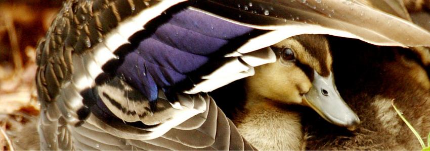 Chick-under-Wing.jpg