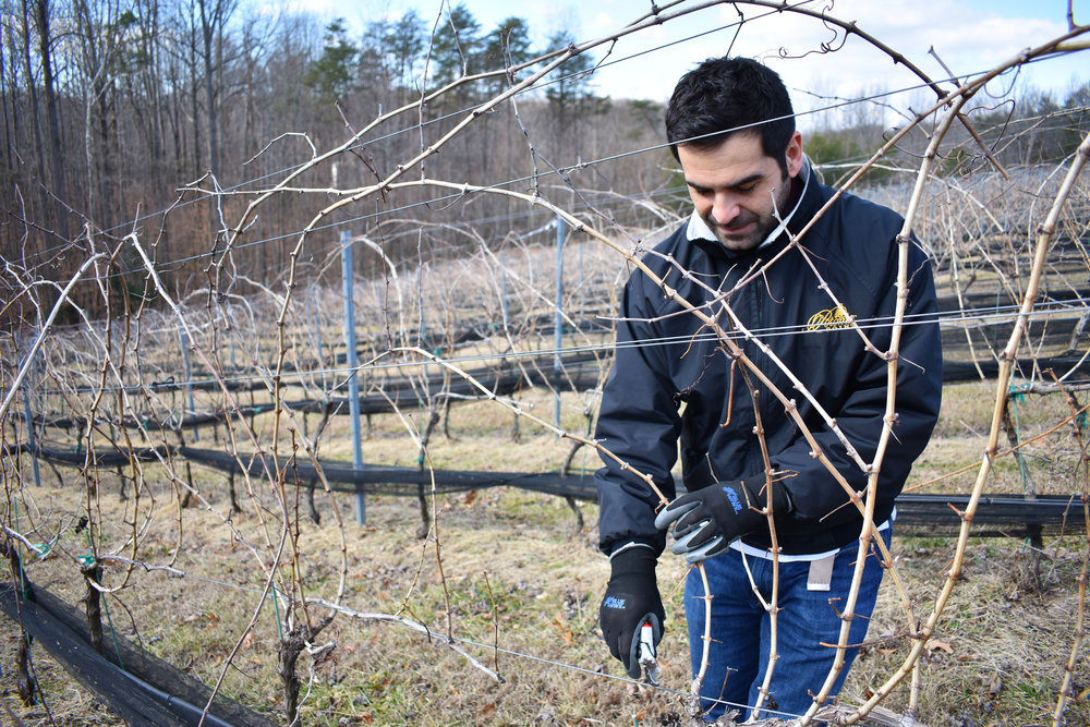 "David Pagan Castaño prunes grapevines at Potomac Point Vineyard and Winery in Stafford, Va., Friday, Feb. 2, 2018. ""The plant now is at hibernation,"" the head winemaker said. (Lindsey Leake/American University)"