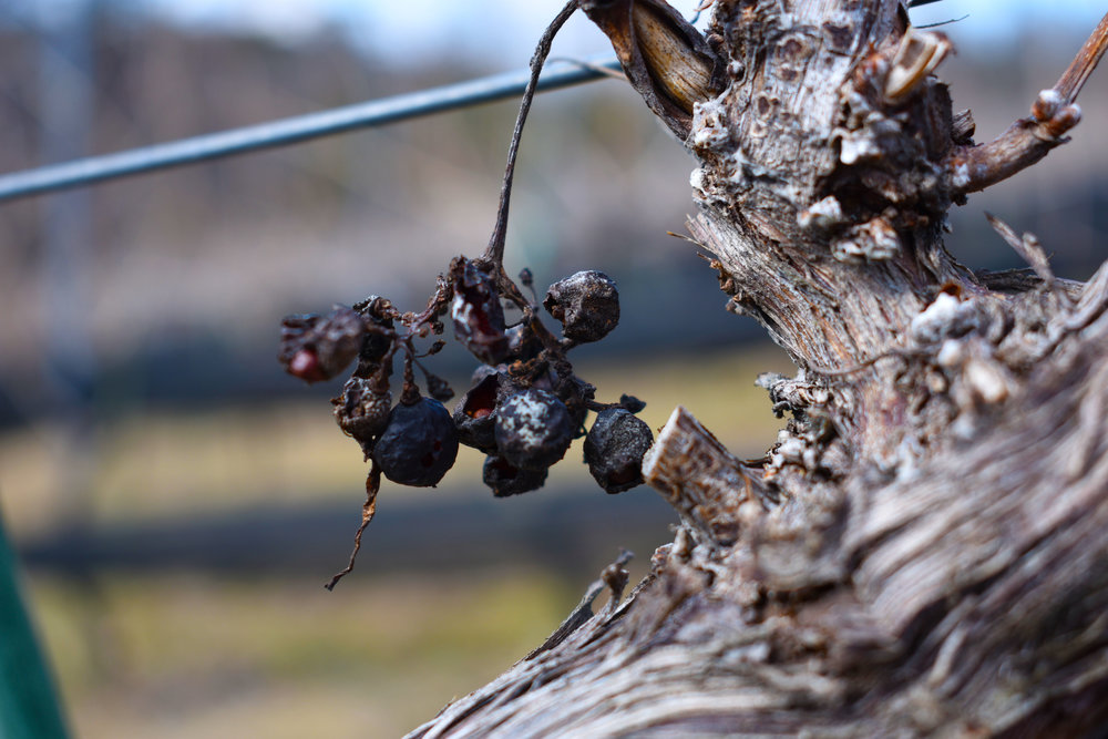 Withered grapes dangle from a vine at Potomac Point Vineyard and Winery in Stafford, Va., Friday, Feb. 2, 2018. (Lindsey Leake/American University)