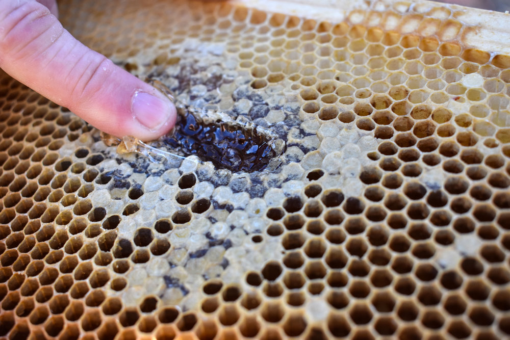John Klapperich, a beekeeper who with his wife Elsa runs The Bee Store in Lake Ridge, Va., runs a finger along honeycomb at his Woodbridge, Va., home, Friday, March 2, 2018. (Lindsey Leake/American University)