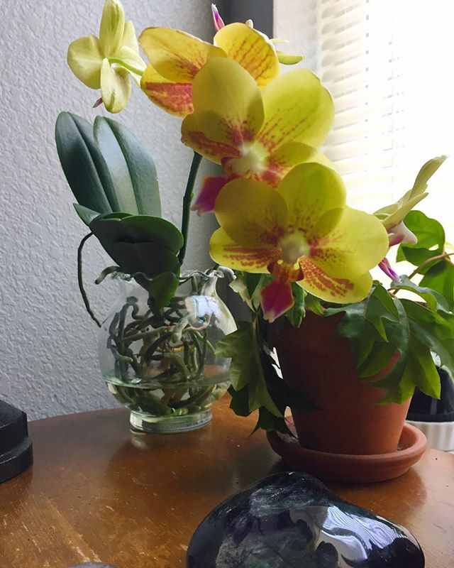 full water culture works apparently 🤗 #plantmom #orchid #ivyoak