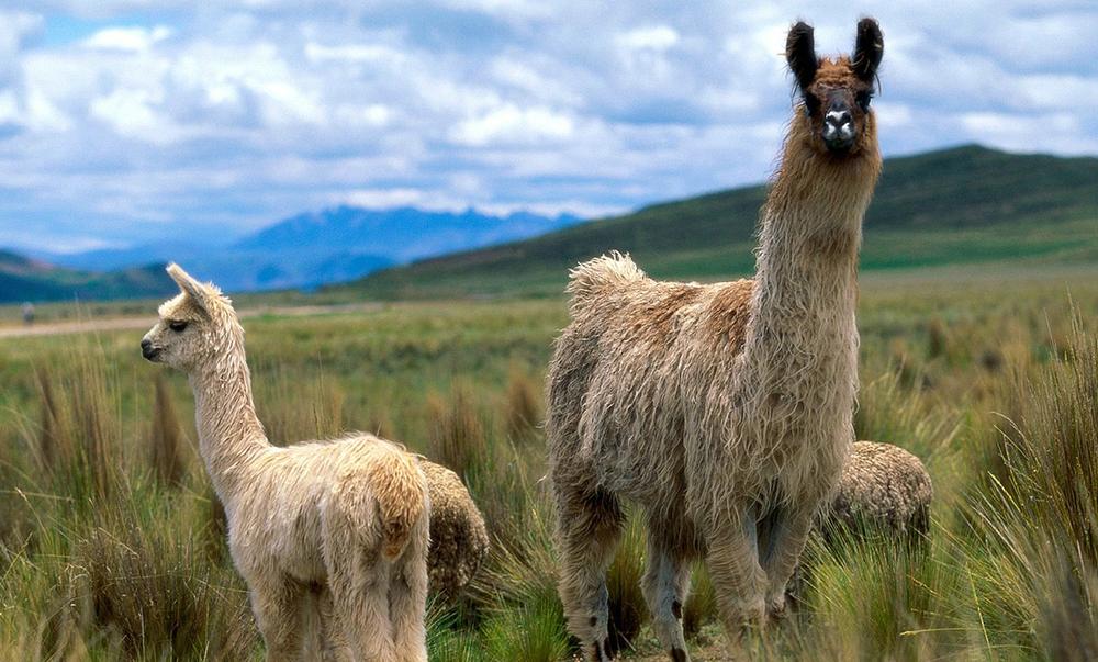 chl-llamas.jpg