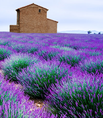 Lavender fields • Photo courtesy A&K