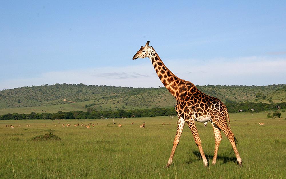 AK-Taylor-Tanzania-East-Africa-Safari-Giraffe.jpg