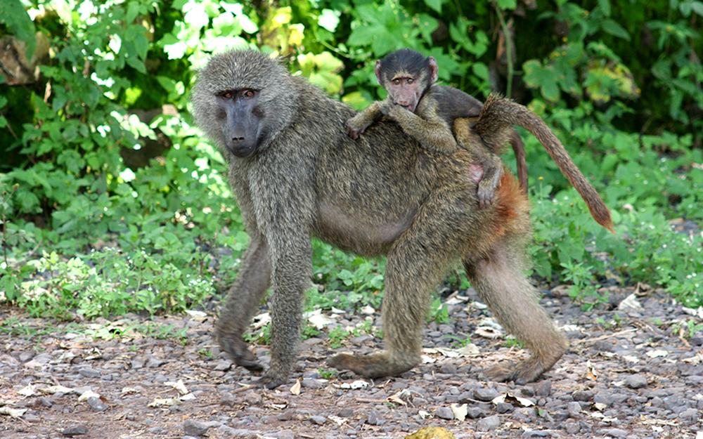 AK-Taylor-Tanzania-East-Africa-Safari-Baboon.JPG