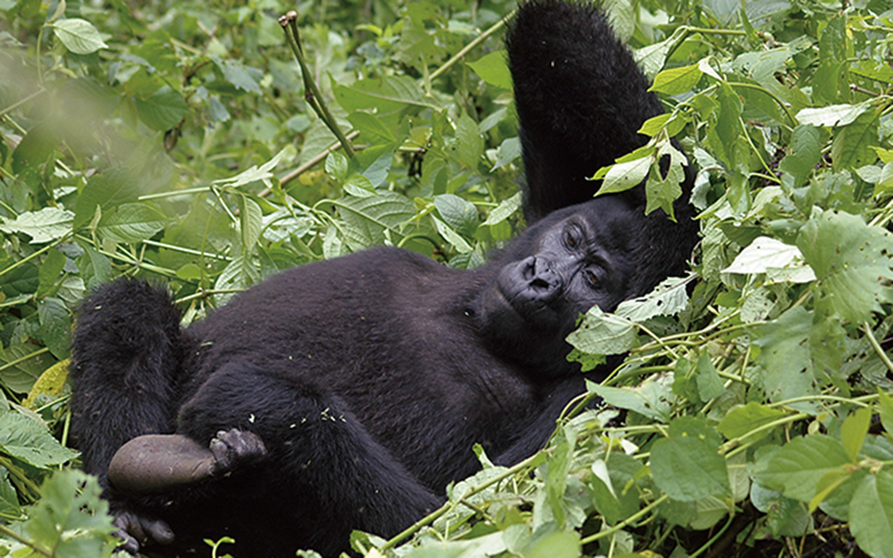 AK-Taylor-Uganda-East-Africa-Safari-Gorilla-Photo-Cropped copy.jpg