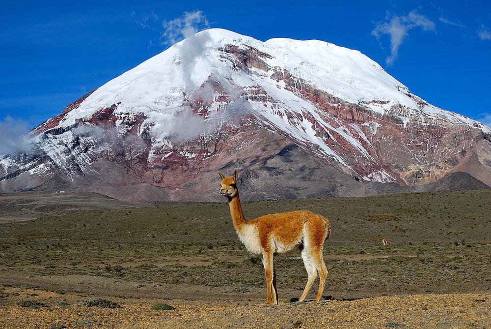 ak-taylor-travel-ecuador-Vicuña.jpg