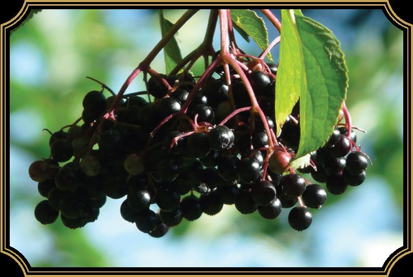 Sambucus nigra/Elderberry in VitImmune