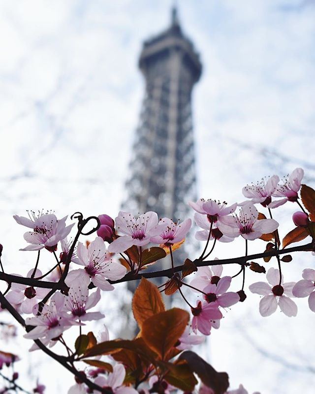 Parisian blossoms. 🌸 I wish springtime was still a thing in Sacramento. We seem to go straight from winter to summer and back again... Paris, France 2017 . #jawphotography #travelphotography #paris #france #eiffeltower #blossoms