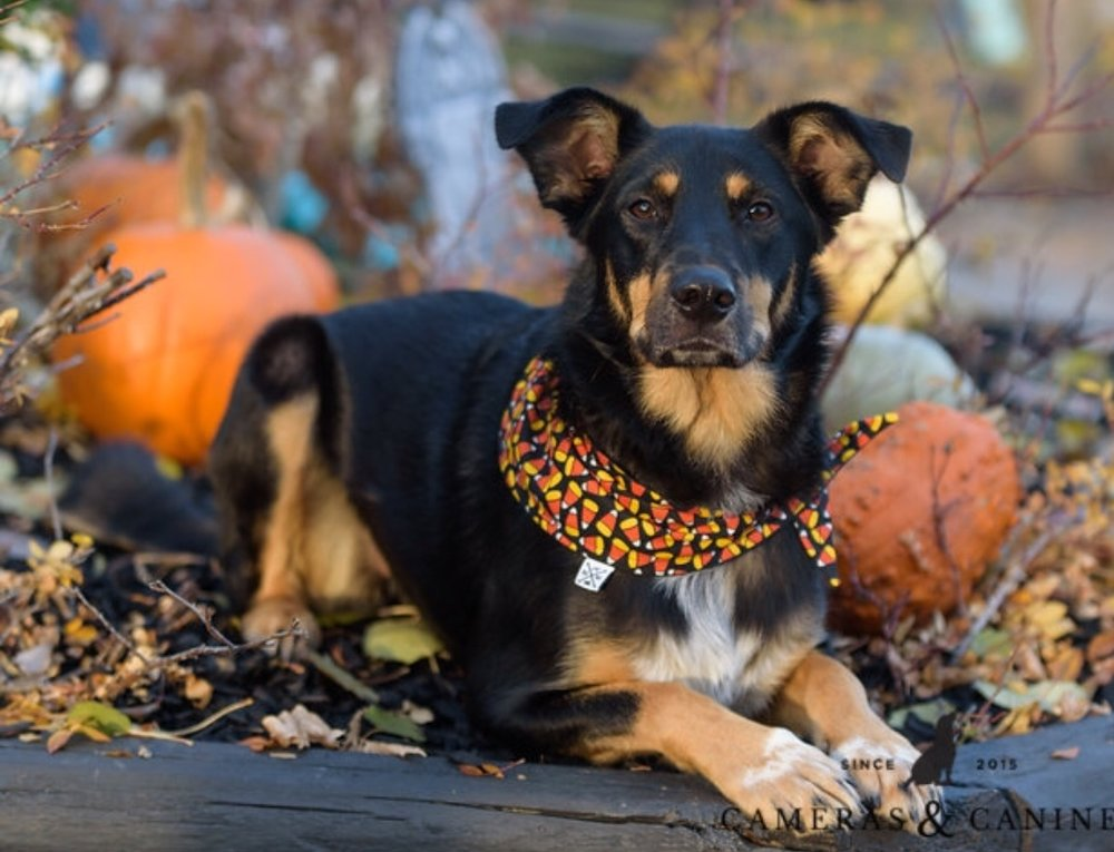 Ryder in Halloween BarkYYC Bandana