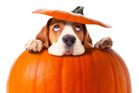 dog-in-pumpkin-halloween_large.jpg