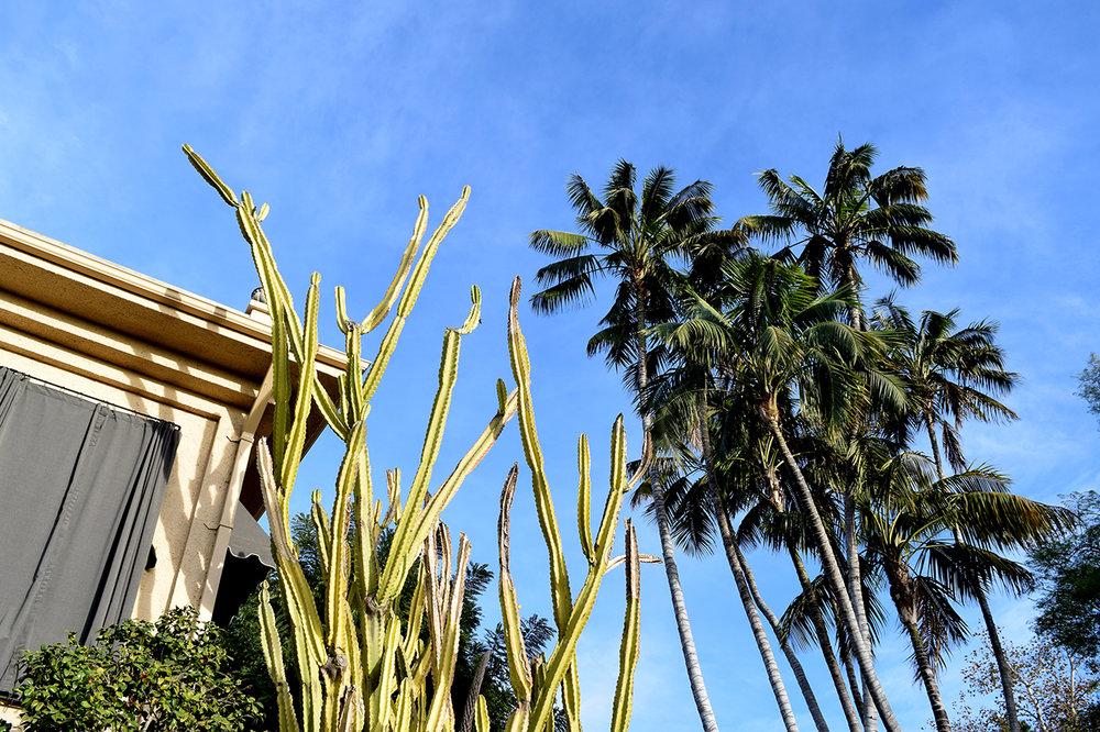 cactus palm trees