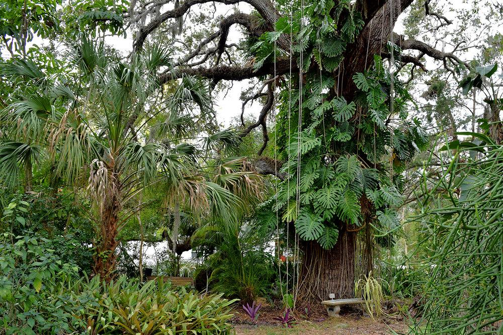giant oak tree succulent garden