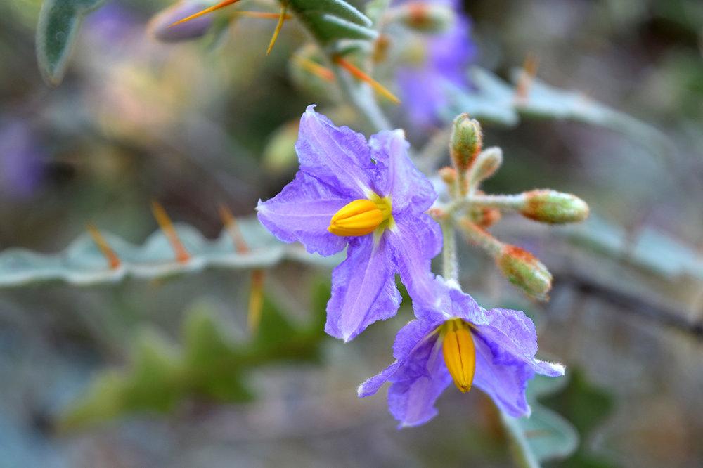 devil's thorn flower - solanum pyracanthum solanaceae from Madagascar at Mildred E. Mathias Botanical Garden on UCLA campus