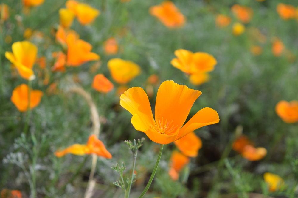 california native orange Poppy flowers at Mildred E. Mathias Botanical Garden on UCLA campus