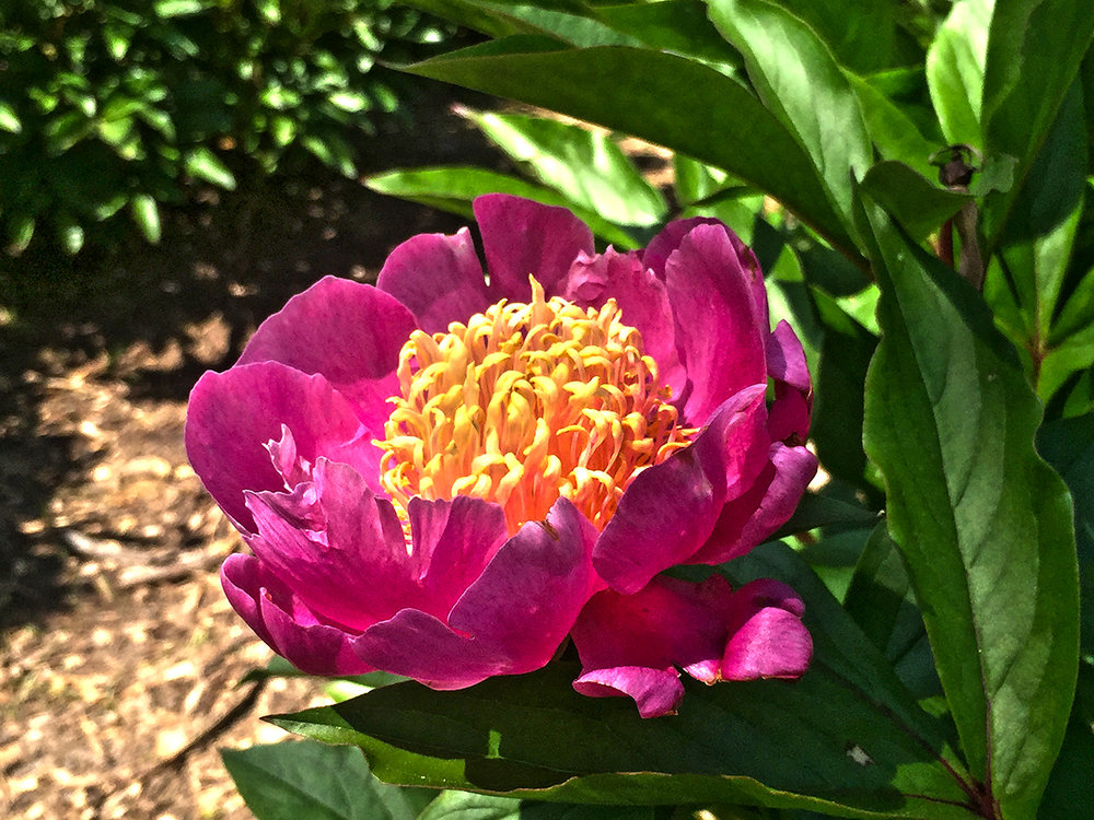 a single peony variety  at Schwartz Peony Gardens in Seneca Creek State Park
