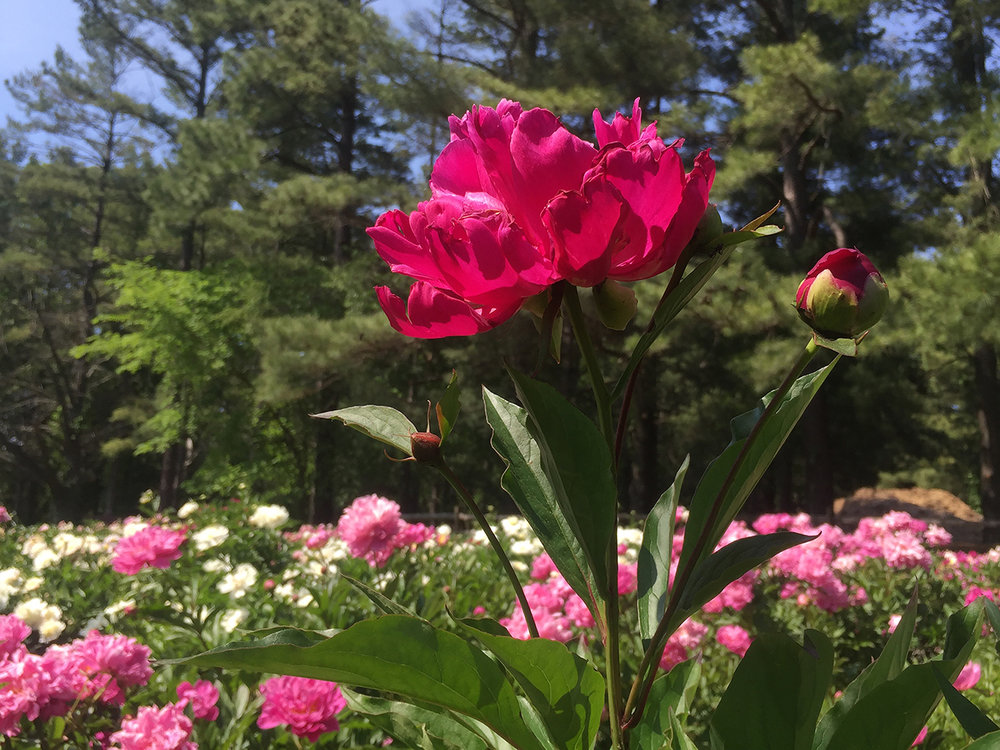a peony stands out above a whole garden of peonies at Schwartz Peony Gardens