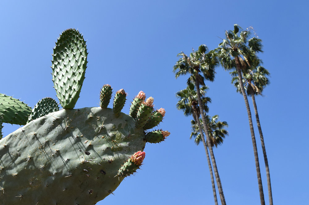 prickly pear cactus and palm trees Historic Cactus Garden in Beverly Gardens Park