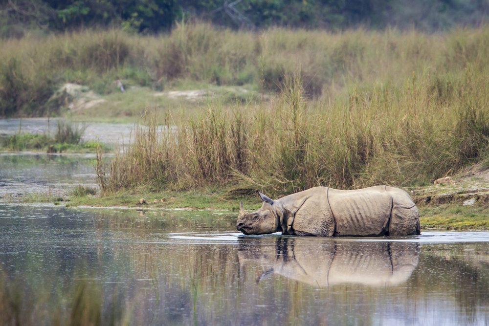 A rhino taking a dip
