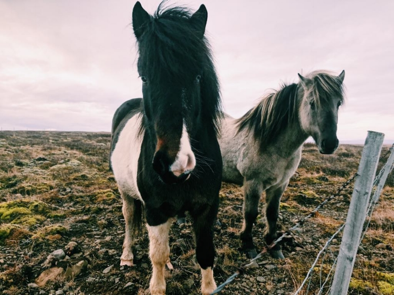 Iceland…where you can't drive 100 meters without spotting adorable wildlife