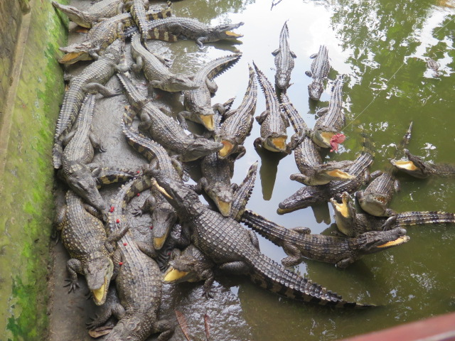 Hungry Crocs