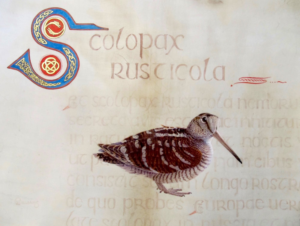 """SCOLOPAX'   Watercolour and gold leaf on vellum. Size - 35cm x 48cm. Price - £2750."