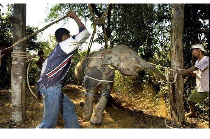 "Phajaan ""Crushing"" of the elephants spirit, an ancient Thai tradition"