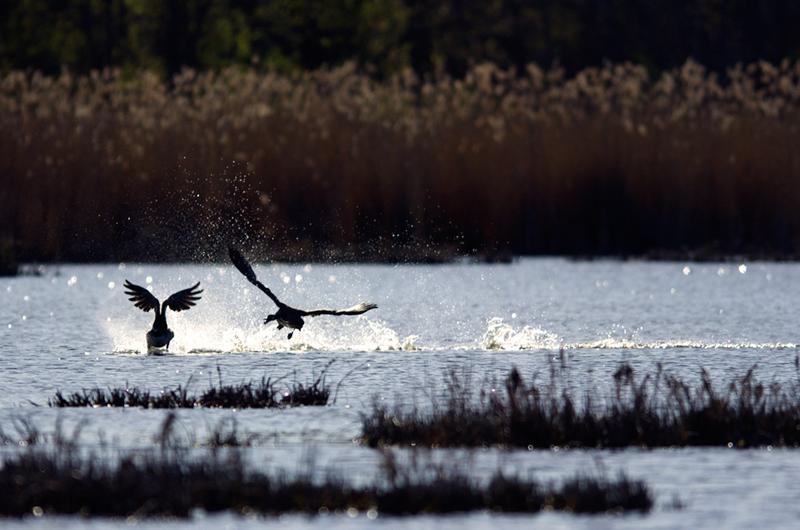 Territorial Canadian Goose