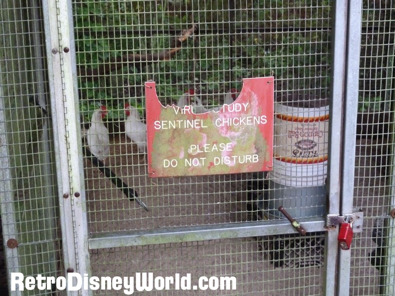 Terrific article here on River Country with a few pictures of the sentinel chickens in their WDW home.