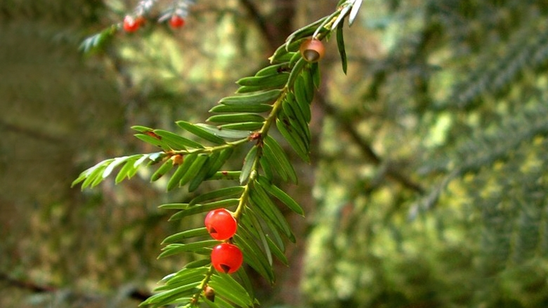 Yew plants contain a poison in every part, but especially in the seeds.