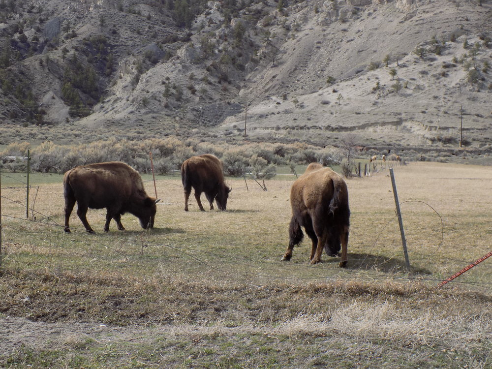 buffalo harem
