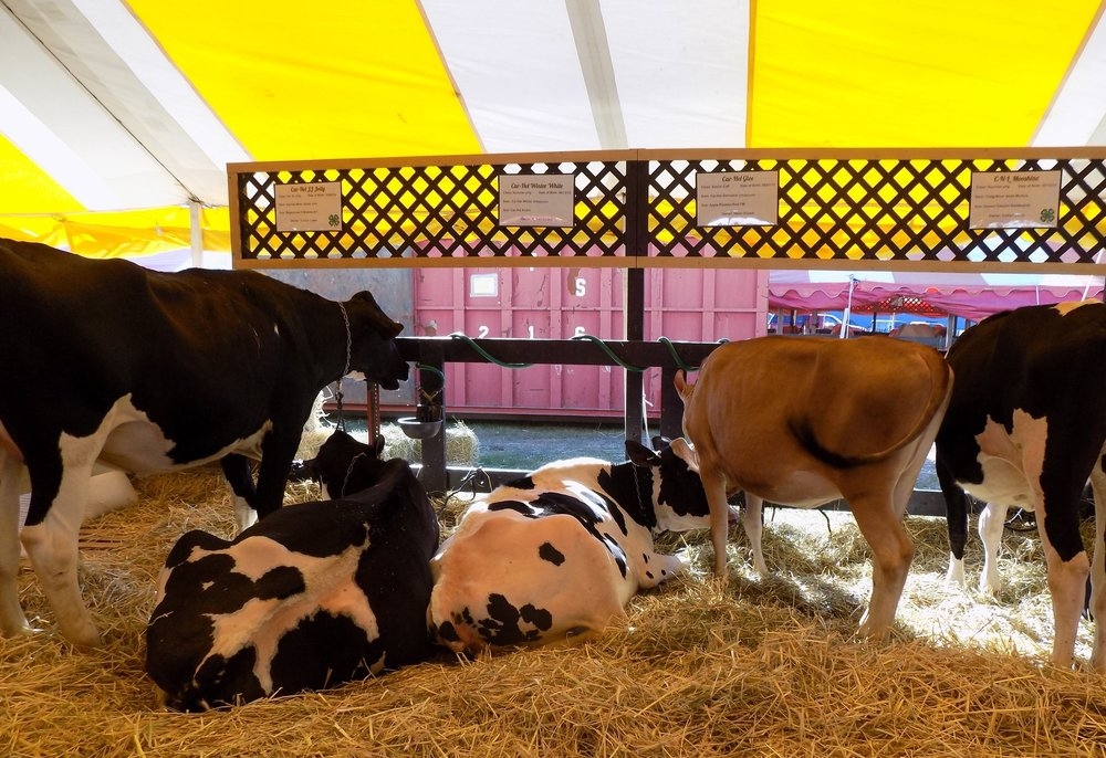 cows in fair tent