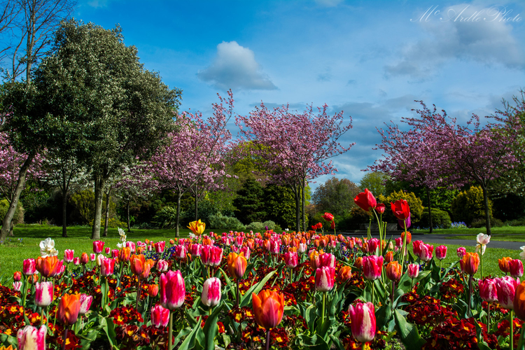 Spring Flowers Herbert Park Ballsbridge Dublin Mcardle Photography