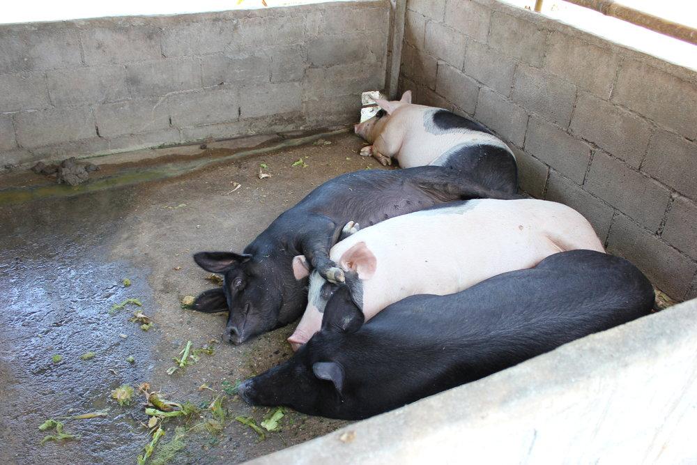 Flotte griser som blir foret med matrestene fra kjøkkenet