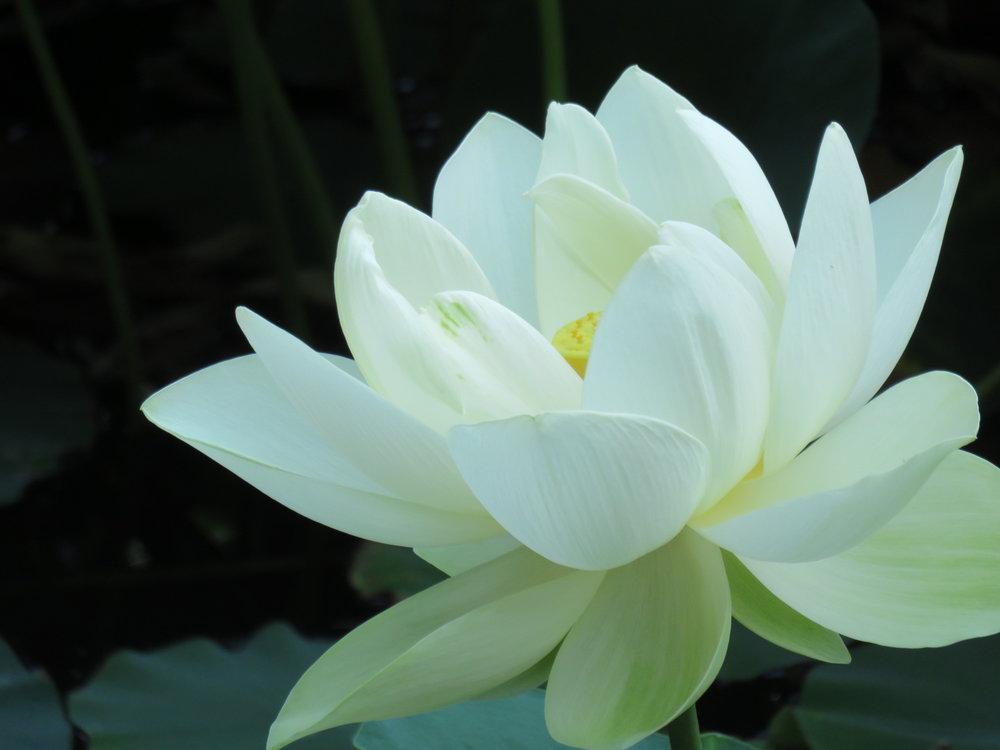 lotusblossom.JPG
