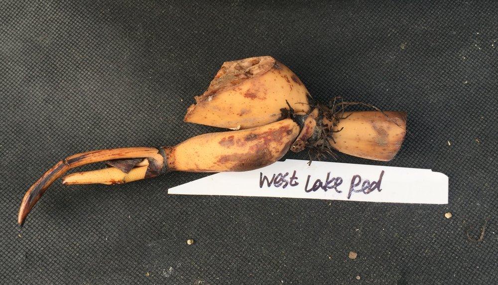 westlakeredlotus.JPG