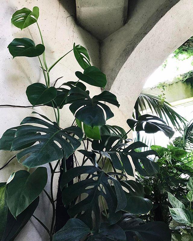 Botanic Culture on Tour // New Zealand // Christchurch Botanic Gardens // monstera pertusum . . . #botanicculture #plantlife #monsterapertusum #swisscheeseplant #indoorplant #conservatory #greenhouse #shadeplant #houseplant #livinggreen #plantsofinstagram #urbanjungle #picoftheday #instagood #newzealand #christchurchbotanicgardens