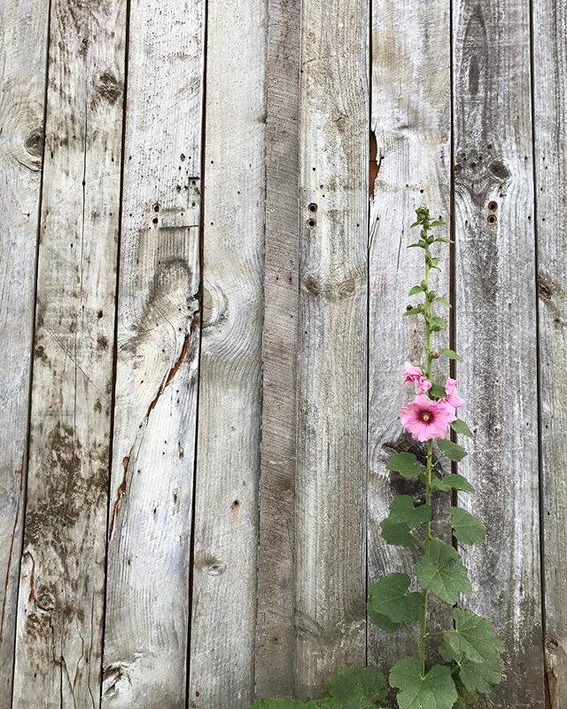 Loving the simplicity two elements can achieve // Timber + Hollyhock . . . #botanicculture #hollyhock #plantlife #greenthumb #nature #timberfence #timber #newzealand #picoftheday #countrygarden #cottagegarden #plantlover #clydenewzealand