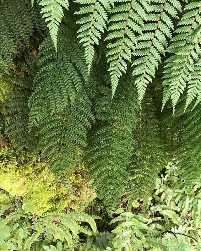 Botanic Culture on NZ tour // Fern layering . . #newzealand #botanicculture #plantlove #newzealandferns #plants #plantsofinstagram #picoftheday #jungle #forest #greenlife #greenthumb #shadesofgreen