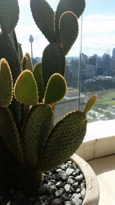 Darlinghurst Cactus Garden Design - Cactus close up with view of Sydney