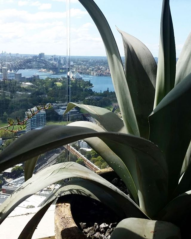 Agave Americana enjoying the view and the sun! . . . #botanicculture #cactusgarden #agaveamericana #agave #sydneyplants #balconyplants #gardenmaintenance #gardenservices #darlinghurst #livingwithgreen #plantsofinstagram #fullsunplants #sydneywinter #picoftheday