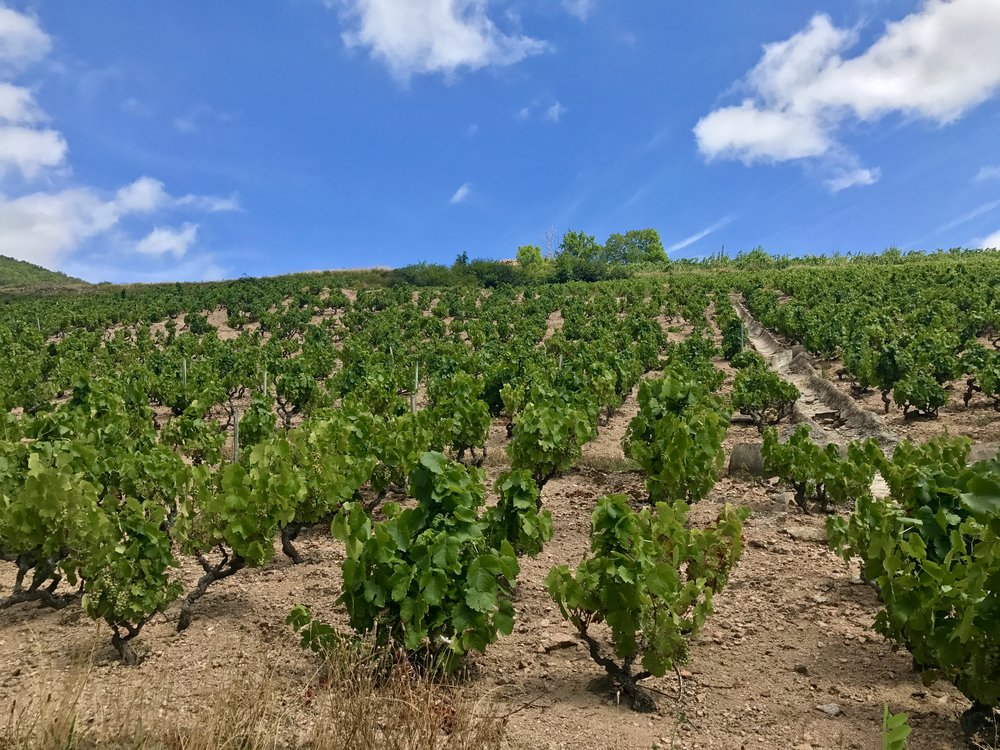 - This is an example of vines we typically saw driving through Beaujolais...