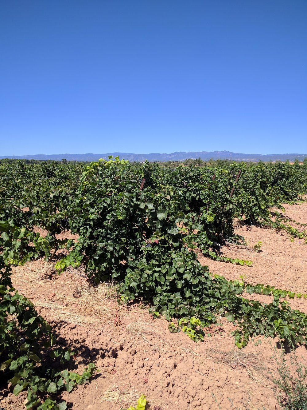 The vines of Languedoc are often an unruly mess -- in stark contrast to those of Burgundy or Alsace.