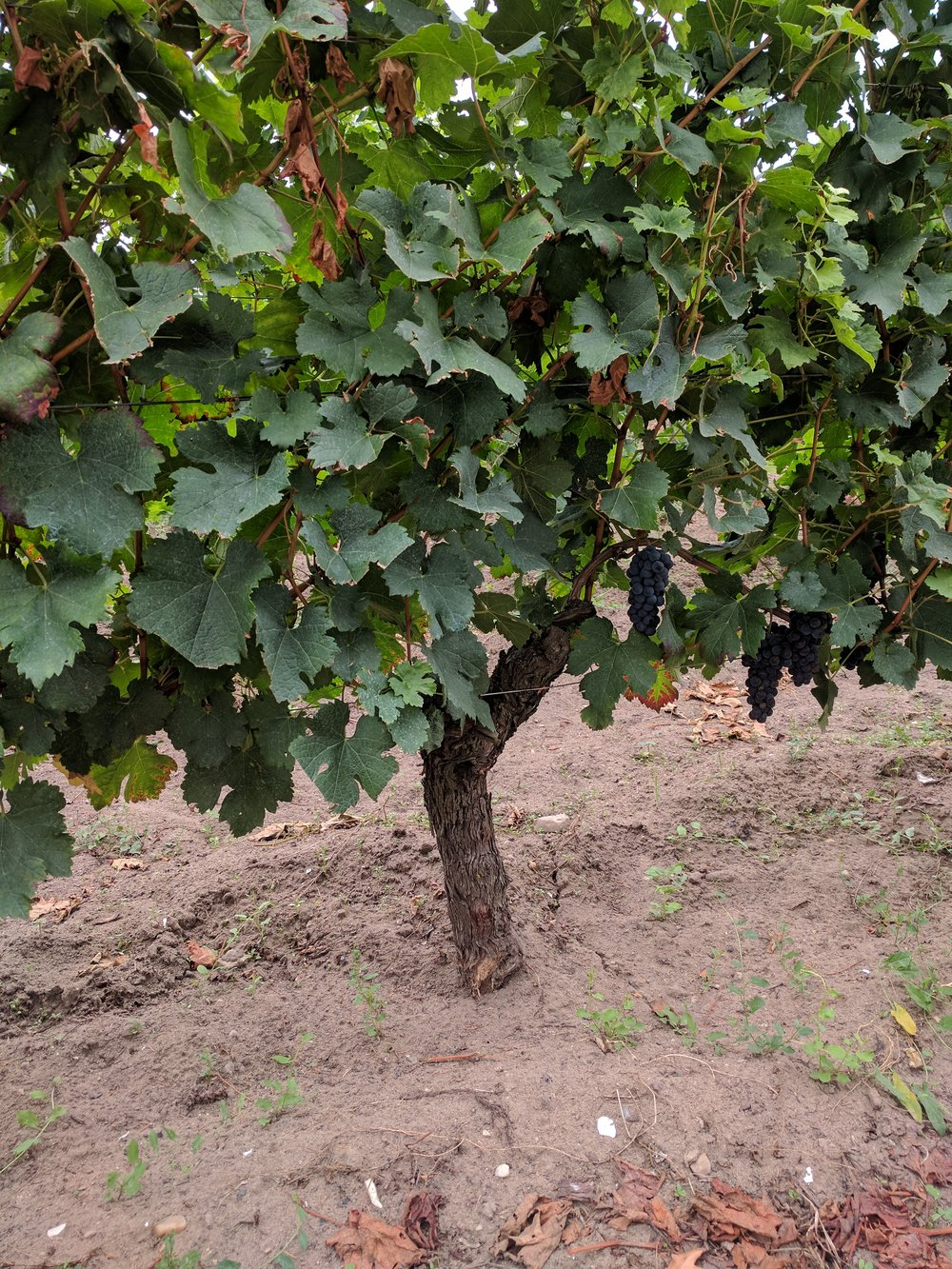 -      Interesting side note on the fickle nature of wine making: This picture was taken at Chateau du Tailhus in Pomerol. The vineyard got hit with a nasty frost this April which kept approximately ninety percent of the fruit from maturing on the vine (nearing harvest each stock only has 1-2 grape bunches)...